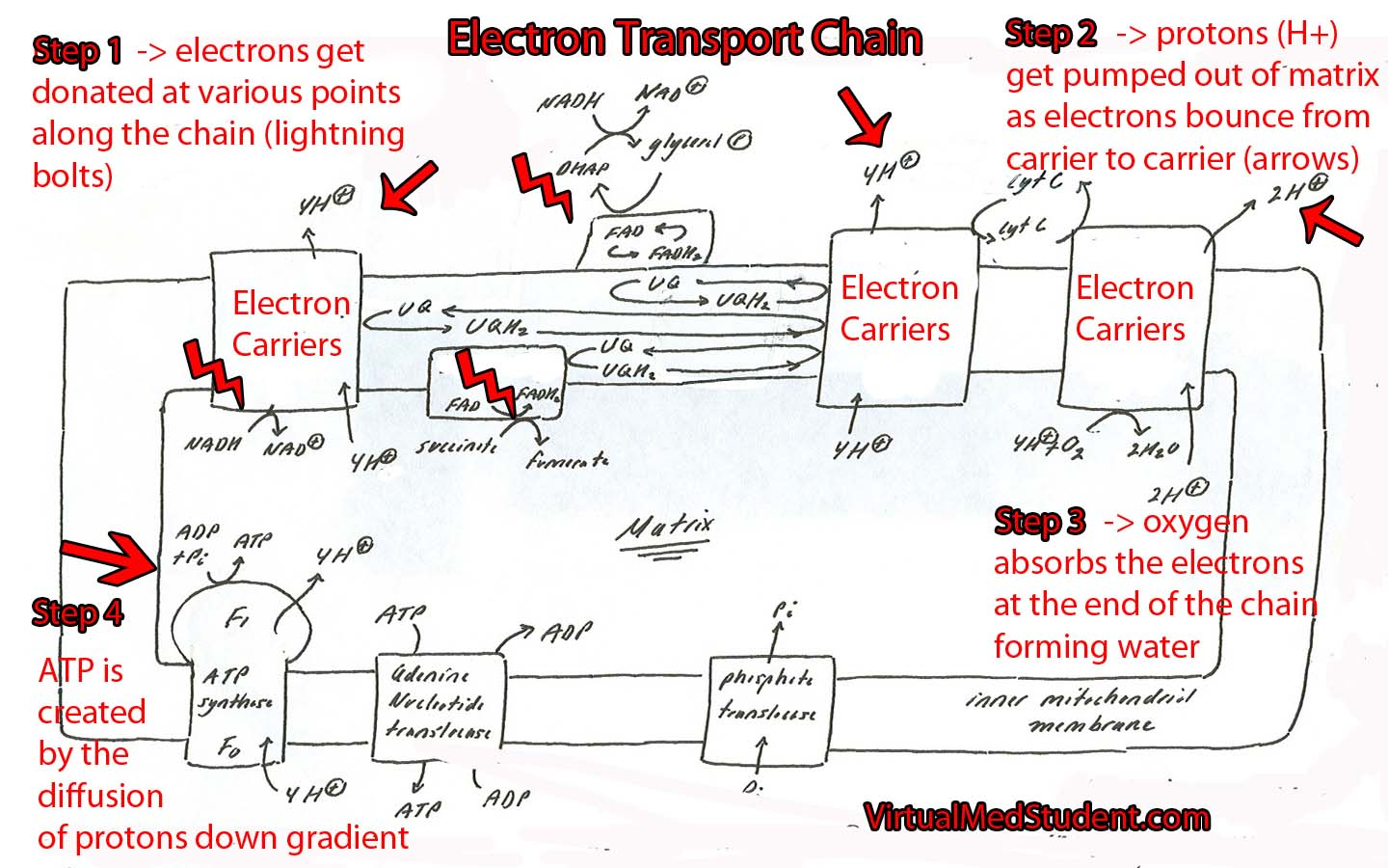 Electron Transport Chain Schematic