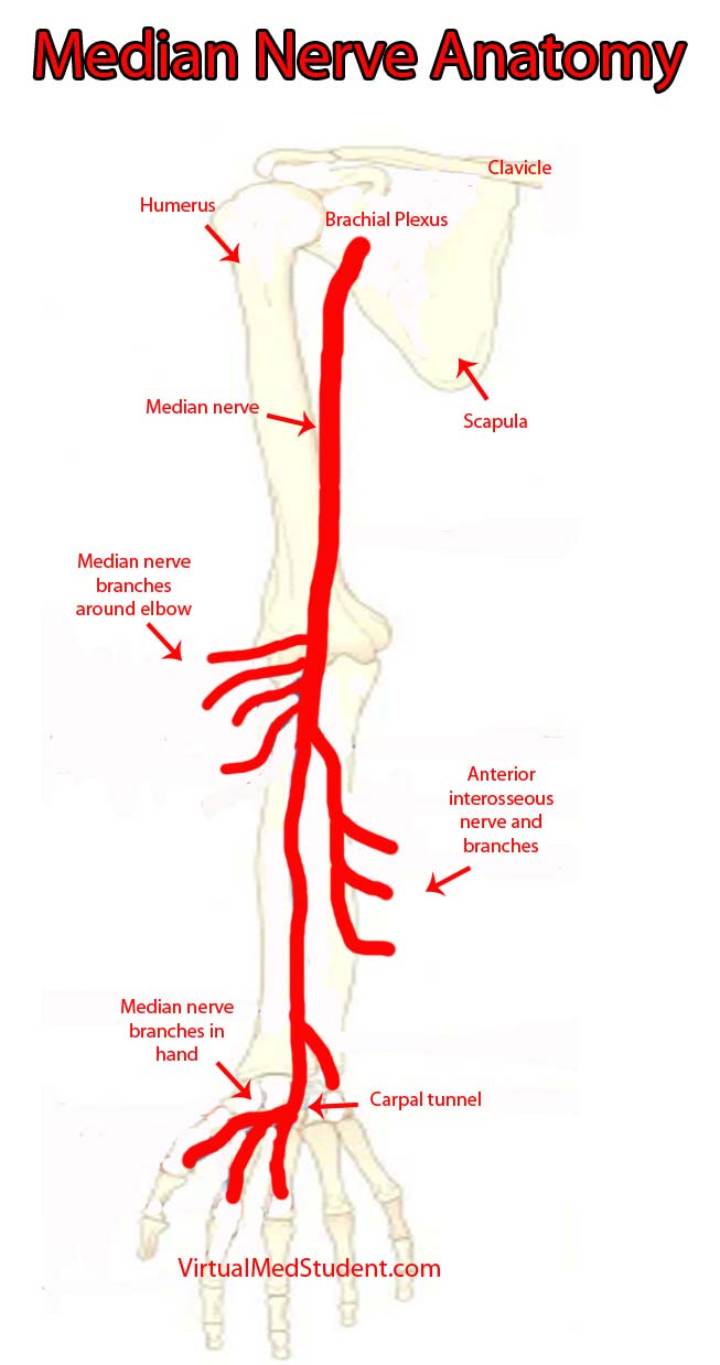 Radial Nerve Course